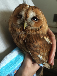 rescued tawny owl